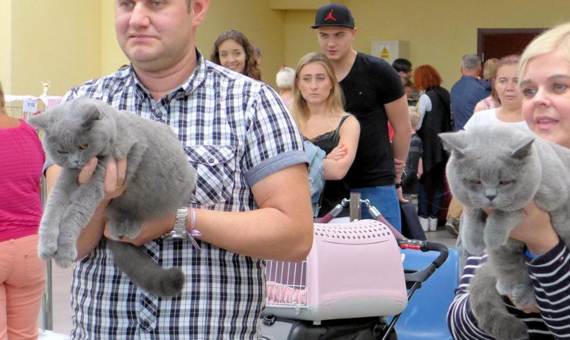 Isma Kosmyk Kotów*Pl zdobyła pierwsze miejsce i pierwszy tytuł CAC