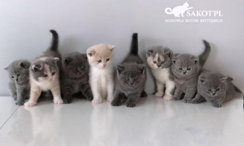 CH Luna Kosmyk kotów*PL została mamą, miot C